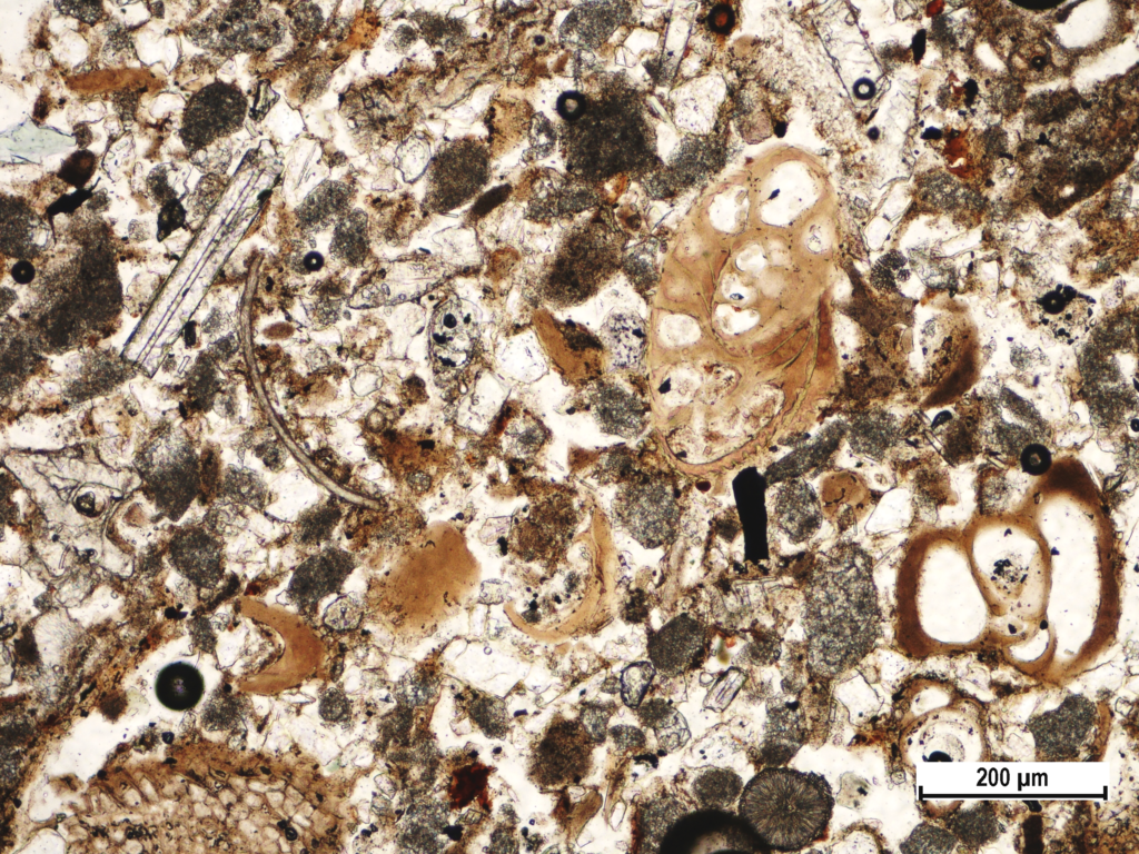 Recent shallow marine bay sediment with opalic sponge spicula (white needle in upper left corner), empty shelled foraminiferas (lower right edge) and thin shelled ostracoda fragment (left from the middle) from Brijuni Island (Polarizing microscopic image, field sample IST-40, PPL).