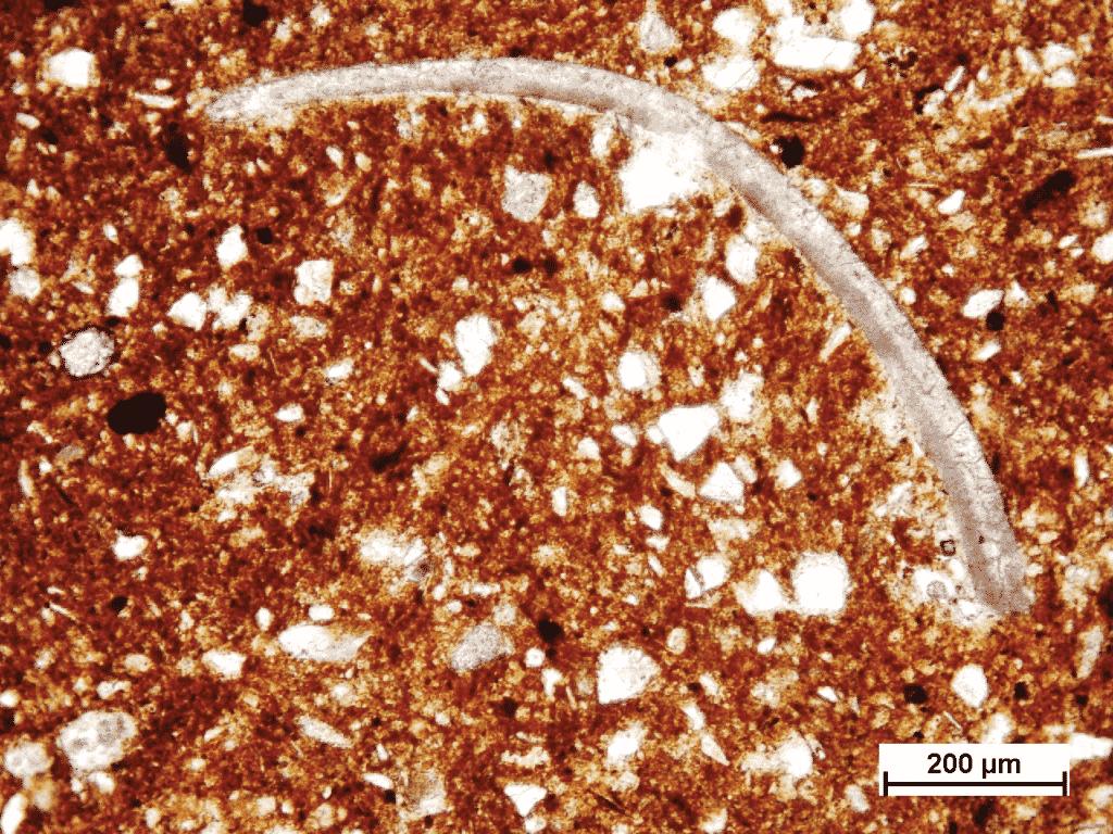 Recent marine thin shelled ostracoda in Fažana amphora (Polarizing microscopic image, amphora sample B-142, PPL).