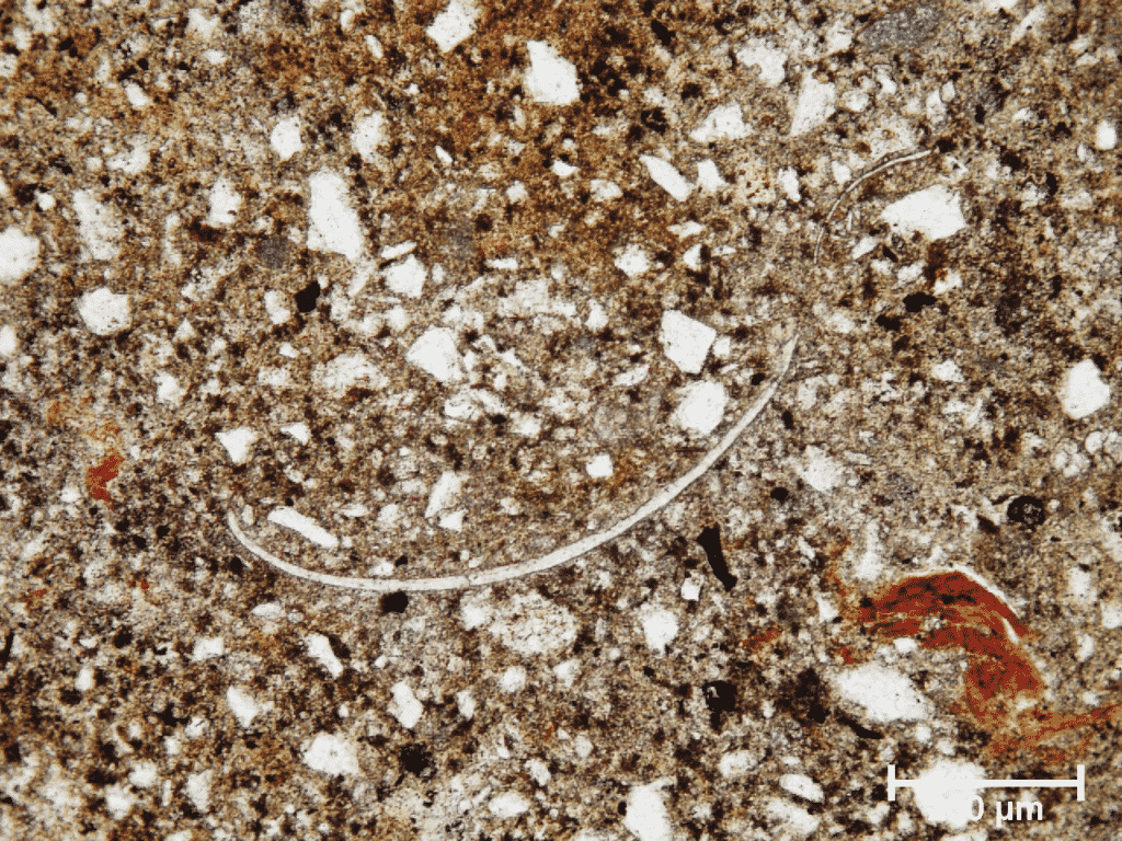 Thin shelled marine ostracoda in fired recent marine mud sample from the soltern near Dobrava, Northwest (Gray) Istria (Polarizing microscopic image, field sample IST-67, PPL).