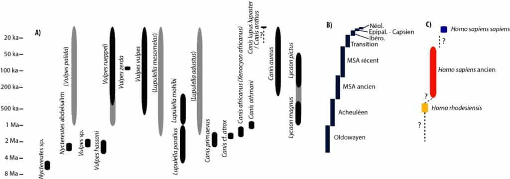 Schéma de l'évolution des Canidés en Afrique du Nord-Ouest ; a. d'après Geraads (2011), Sahnouni et al. (2013), Koepfli et al. (2015), Amri et al. (2017), Yuko Hallett (2018), des cultures ; b. et des Hominidés ; c. adapté de Hublin (2009).