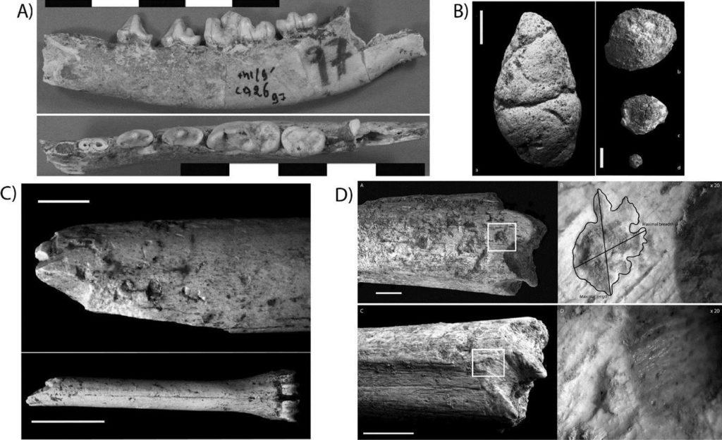 Reste de Canidés, coprolithes et traces de dents à GH : a. hémi-mandibule de Lupulella mohibi (Cliché D. Geraads), b. différentes tailles de coprolithes, échelle : 1 cm (Daujeard et al. 2012), c. métacarpe d'Alcélaphiné avec des traces de mâchonnement, échelle : 1 cm (Daujeard et al. 2012), d. traces de dents de carnivore sur le fémur d'Hominidé, échelle : 1 cm (Daujeard et al. 2016).