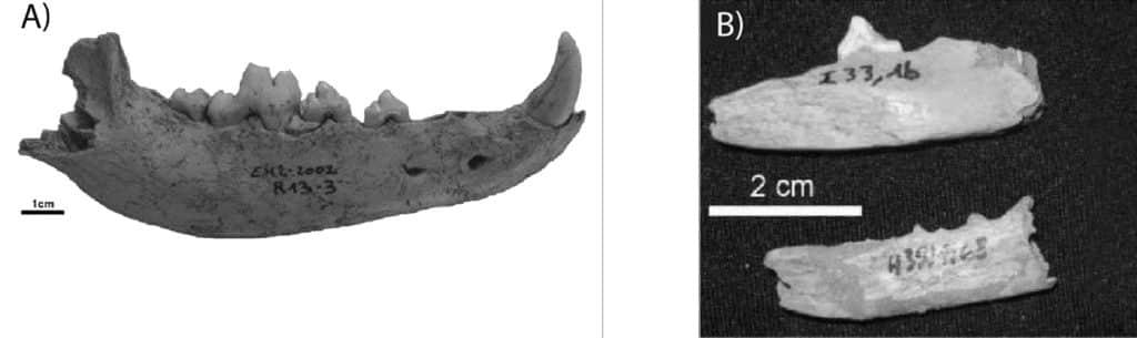 Restes attribués à Canis lupus familiaris découverts dans les niveaux holocènes ; a. El Harhoura 2 (Stoetzel et al. 2012) ; b. Guenfouda (Aouraghe et al. 2010).