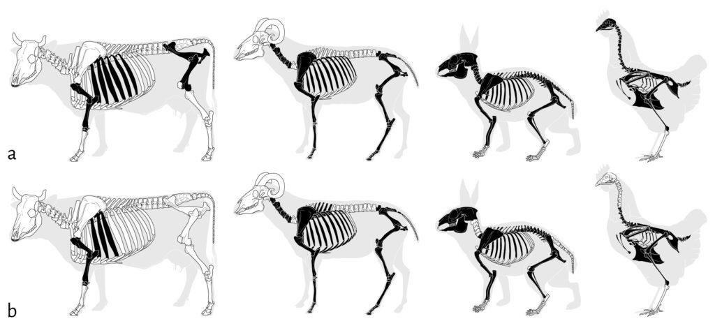 a. Complétude des squelettes composant la cellule 1 ;  b. Complétude des squelettes composant la cellule 2.  En noir, les éléments présents ; en blanc, les éléments absents. © ArcheoZoo.org / Michel Coutureau (modifié).