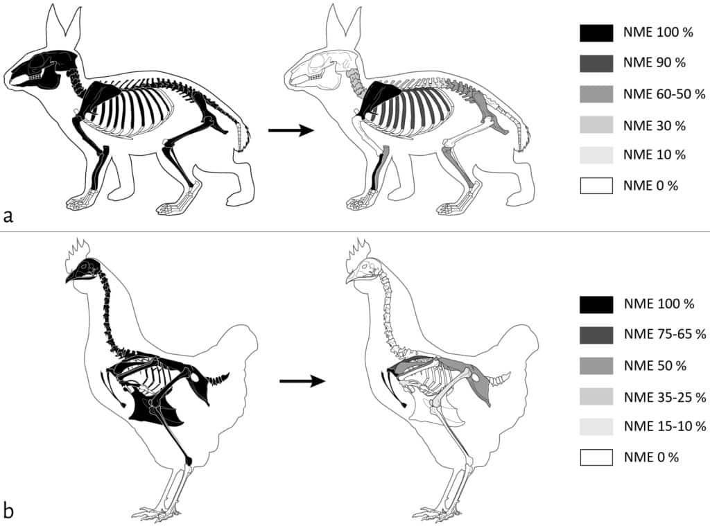 Représentation squelettique de la mésofaune en% NME avant (gauche) et après (droite) passage des carnivores sur la cellule 1 :  a. Lapin (NMI = 1) ; b. Poule (NMI = 2). NME 100% = NME initial, NME 0% = absence de l'élément (non déposé ou entièrement consommé).  © ArcheoZoo.org / Michel Coutureau (modifié).