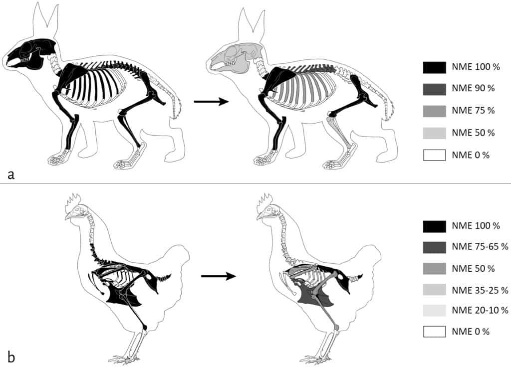 Représentation squelettique de la mésofaune en% NME avant (gauche) et après (droite) passage des carnivores sur la cellule 2 :  a. Lapin (NMI = 1) ; b. Poule (NMI = 2). NME 100% = NME initial, NME 0% = absence de l'élément (non déposé ou entièrement consommé).  © ArcheoZoo.org / Michel Coutureau (modifié).