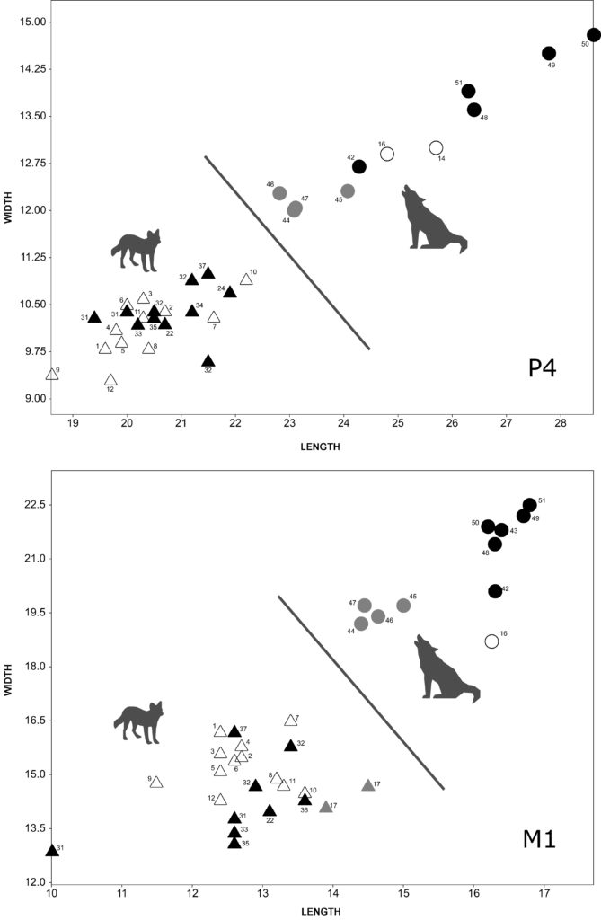 Length and width of P4 and M1 of Iberian fossil dholes, Asian extant dholes, fossil wolves from the Iberian Peninsula and France, and Iberian extant wolves.