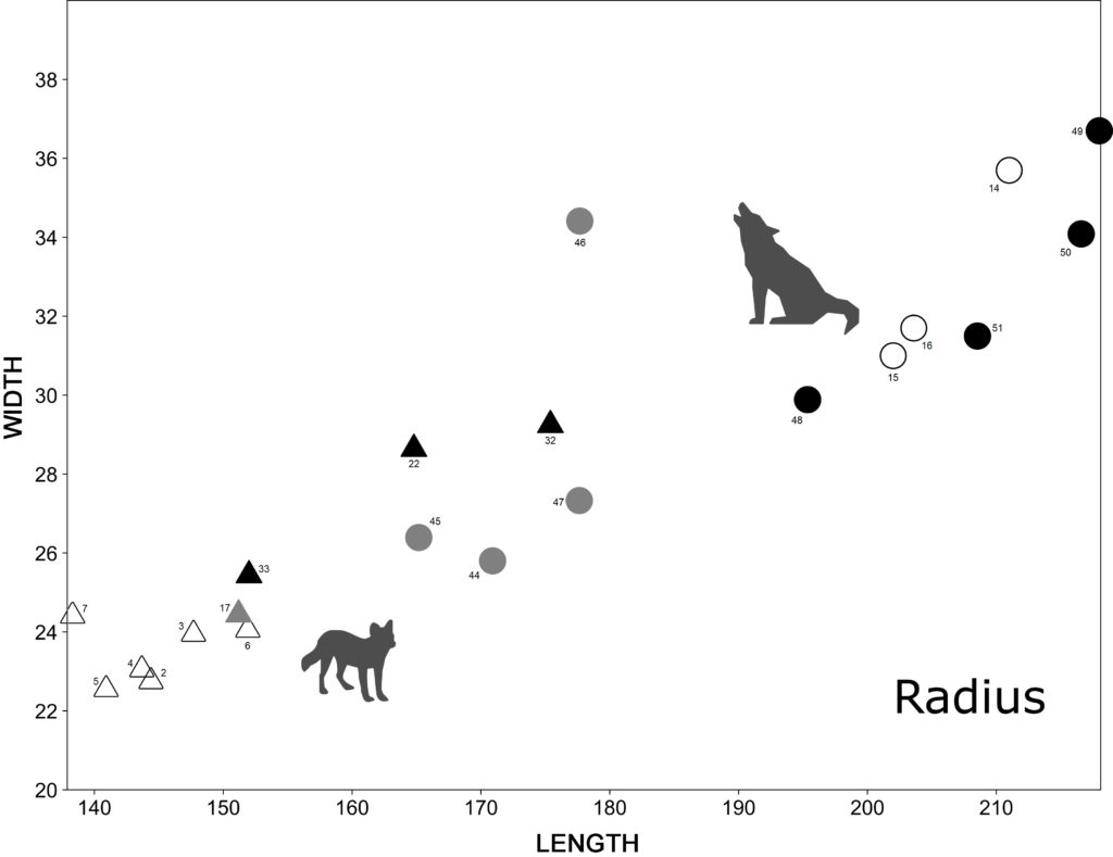Greatest length and transverse distal width of the radius of Iberian fossil dholes, Asian extant dholes, fossil wolves from France and Iberian extant wolves.